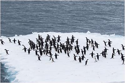 Adelie Penguin, near Paulet Island, Antarctica 11 January 2019