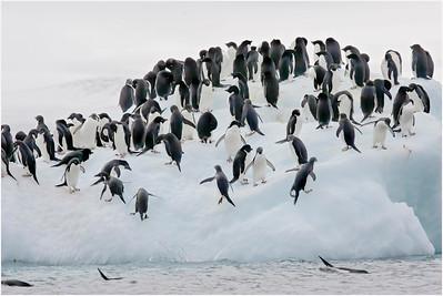 Adelie Penguin, Paulet Island, Antarctica 19 January 2009