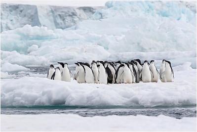 Adelie Penguin, Hope Bay, Antarctica 13 February 2018