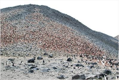 Adelie Penguin, Paulet Island, Antarctica 11 January 2019