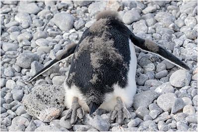Adelie Penguin, Brown Bluff, Antarctica 13 February 2018