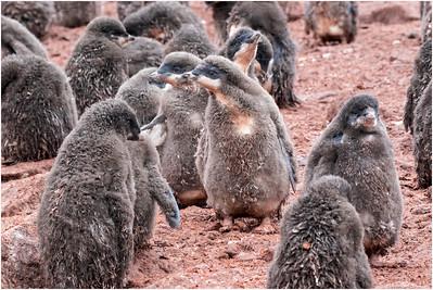 Adelie Penguin, Paulet Island, Antarctica 29 January 2018