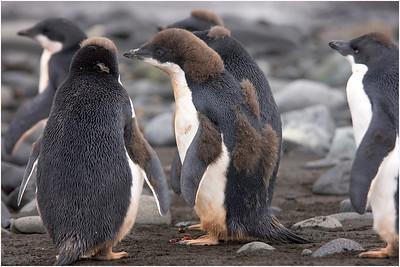 Adelie Penguin, Arctowski, Antarctica 27 January 2006