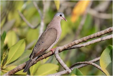 Blue-spotted Wood-dove, Makasutu, Gambia, 26 February 2019