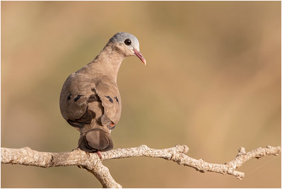 Blue-spotted Wood-dove, Makasutu, Gambia, 27 February 2019