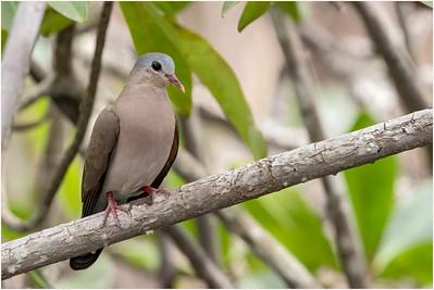 Blue-spotted Wood Dove, Makasutu, Gambia, 25 November 2017
