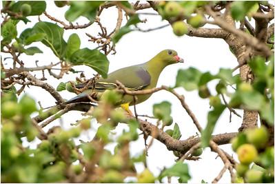 African Green Pigeon, Makasutu, Gambia, 24 February 2020