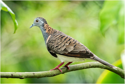 Bar-shouldered Dove, Daintree, Queensland, Australia, 11 January 2020