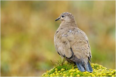 Black-winged Ground Dove, Antisana, Ecuador, 6 November 2013