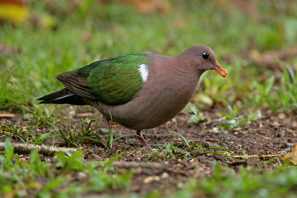Pacific Emerald Dove