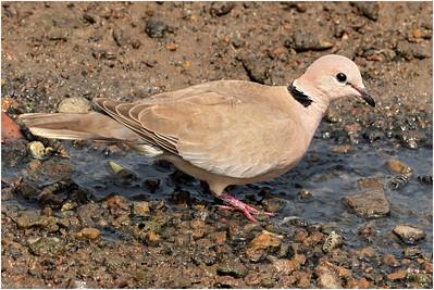 African Collared Dove, Makasutu, Gambia, 26 November 2017