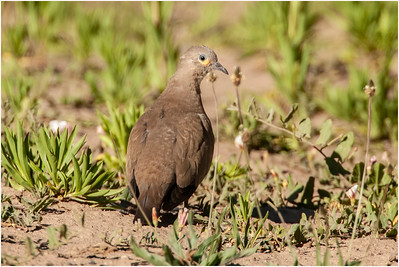 Black-winged Ground Dove, Antisana, Ecuador, 23 January 2007
