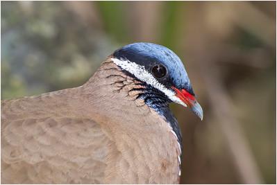 Blue-headed Quail-dove, Zapata, Cuba, 12 January 2016