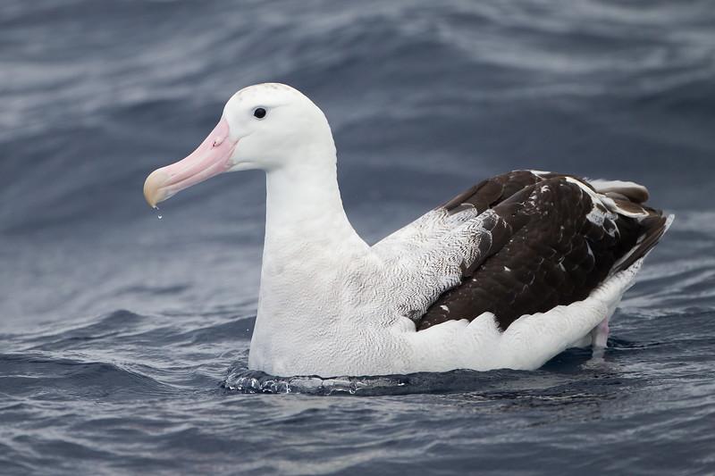 Gibson's albatross