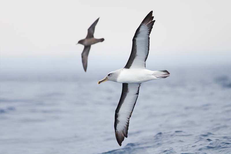 Buller's Albatross with a Short-tailed shearwater behind