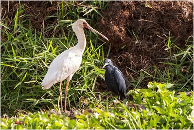 African Spoonbill, Makasutu, Gambia, 2 March 2019