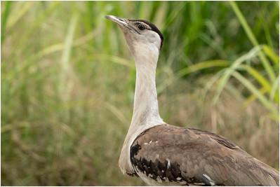 Australian Bustard, Mareeba Wetlands, Queensland, Australia, 10 January 2020