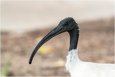 Australian White Ibis, Townsville, Queensland, Australia, 7 January 2020