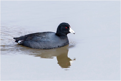 American Coot, Chesapeake, USA, 24 February 2014