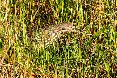 American Bittern, Florida, USA, 23 February 2012