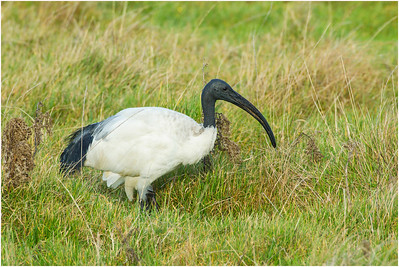 African Sacred Ibis, Salthouse, Norfolk, United Kingdom, 6 January 2013