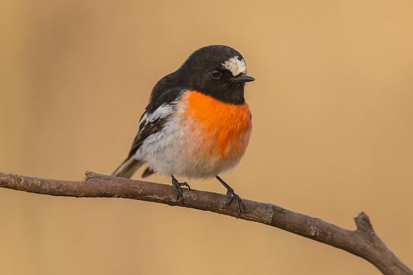 Scarlet Robin male