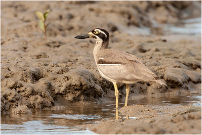 Beach Thick-knee, Cairns, Queensland, Australia, 4 August 2007