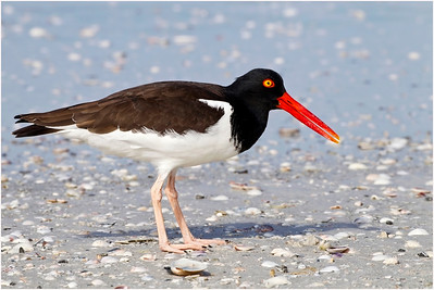 American Oystercatcher, Florida, USA, 28 February 2012