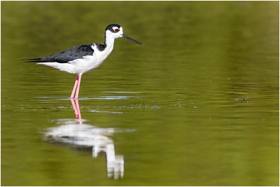 Black-necked Stilt, Florida, USA, 23 February 2012