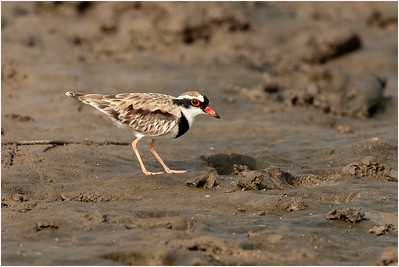 Black-fronted Dotterel, Cairns, Queensland, Australia, 4 August 2007