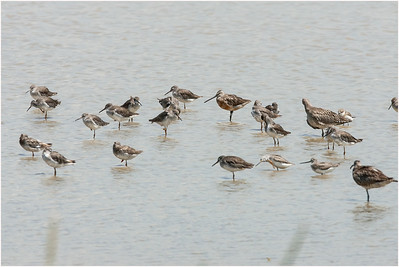 Asiatic Dowitcher, Mai Po, Hong Kong, 31 August 2007