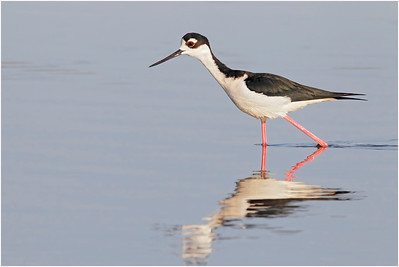 Black-necked Stilt, Florida, USA, 24 February 2012