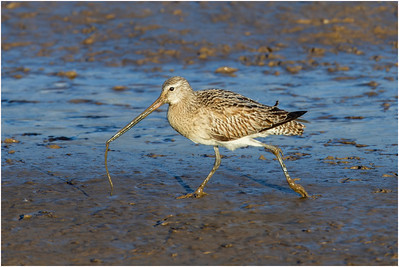 Bar-tailed Godwit, Titchwell, Norfolk, United Kingdom, 1 February 2014