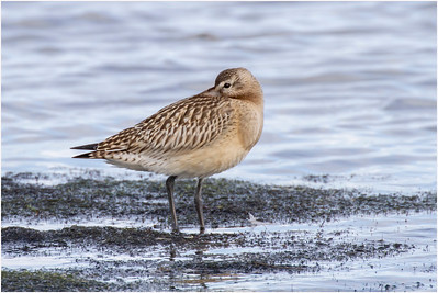 Bar-tailed Godwit, Titchwell, Norfolk, United Kingdom, 2 October 2010