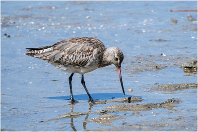 Bar-tailed Godwit, Cairns, Queensland, Australia, 12 January 2020