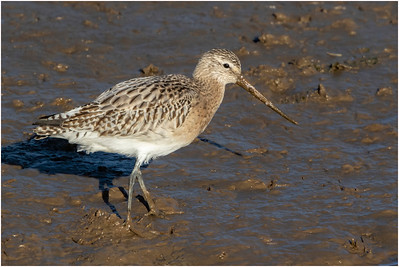 Bar-tailed Godwit, Titchwell, Norfolk, United Kingdom, 19 November 2017
