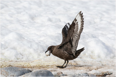 Brown Skua, Cuverville Island, Antarctica, 26 January 2019
