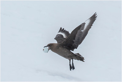 Brown Skua, Danco Island, Antarctica, 24 December 2018