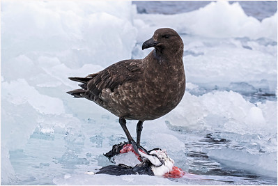 Brown Skua, Hope Bay, Antarctica, 13 February 2018