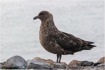 Brown Skua, Deception Island, Antarctica, 27 January 2018
