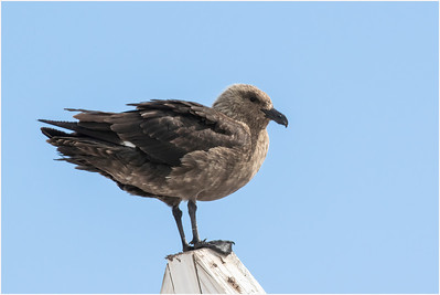 Brown Skua, Damoy Point, Antarctica, 25 January 2019