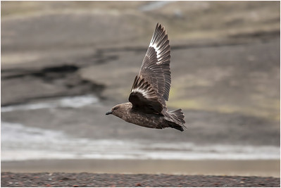 Brown Skua, Deception Island, Antarctica, 25 January 2009