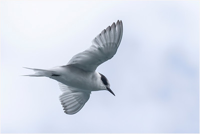 Antarctic Tern, Cooper Bay, South Georgia, Antarctica, 9 February 2018