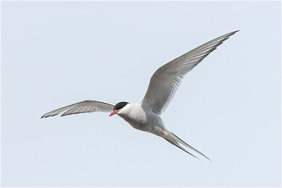 Arctic Tern, Blomstrand, Svalbard, 16 July 2009