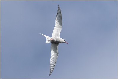 Antarctic Tern, Petermann Island, Antarctica, 17 February 2018
