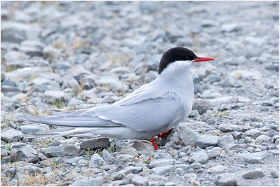 Antarctic Tern, Grytviken, South Georgia, Antarctica, 5 January 2019