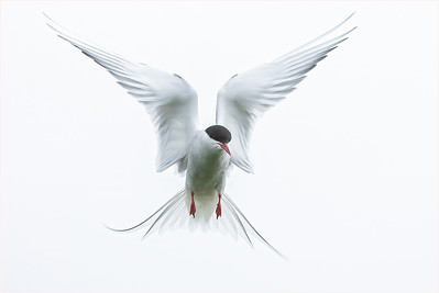 Arctic Tern, Farne Isles, Northumberland, United Kingdom, 7 June 2008