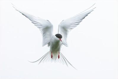 Arctic Tern, Farne Isles, Northumberland, United Kingdom, 7 June 2008