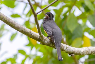 Black-throated Trogon, La Selva, Costa Rica, 24 April 2011