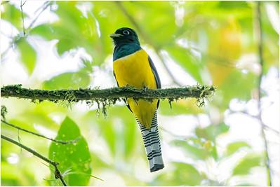 Black-throated Trogon, Braulio Carrillo NP, Costa Rica, 7 April 2018